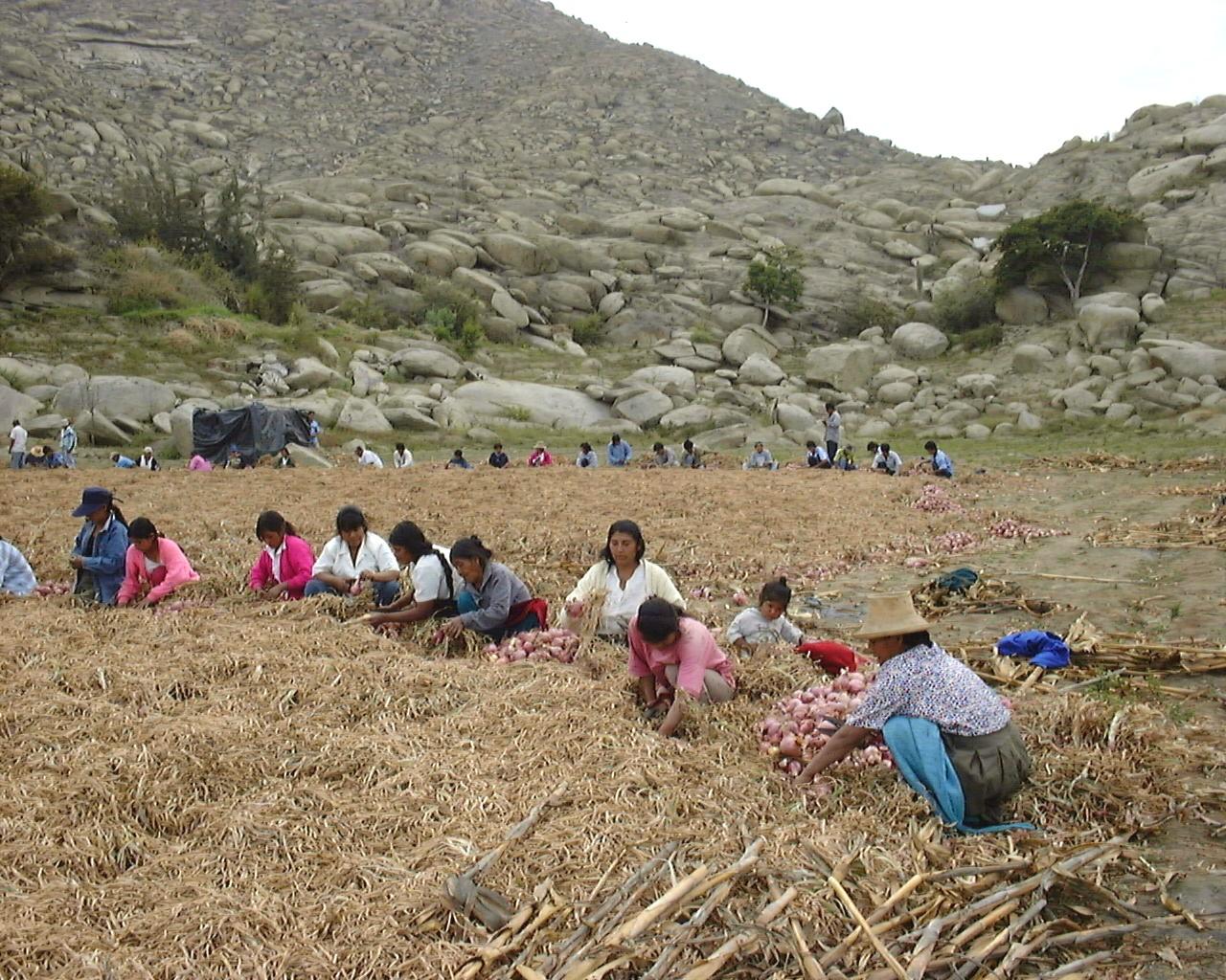 Trabajo de la mujer en la cocecha de cebolla en Huanchuy - Casma (Ancash)