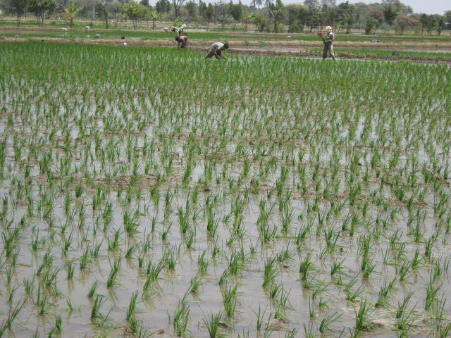 Campos de arroz en Piura