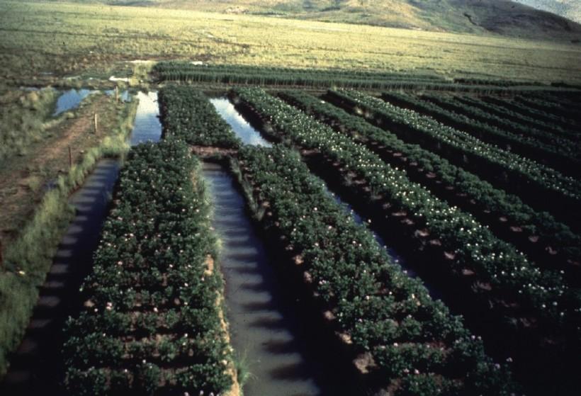 Plantaciones de papa en waru waru - Puno