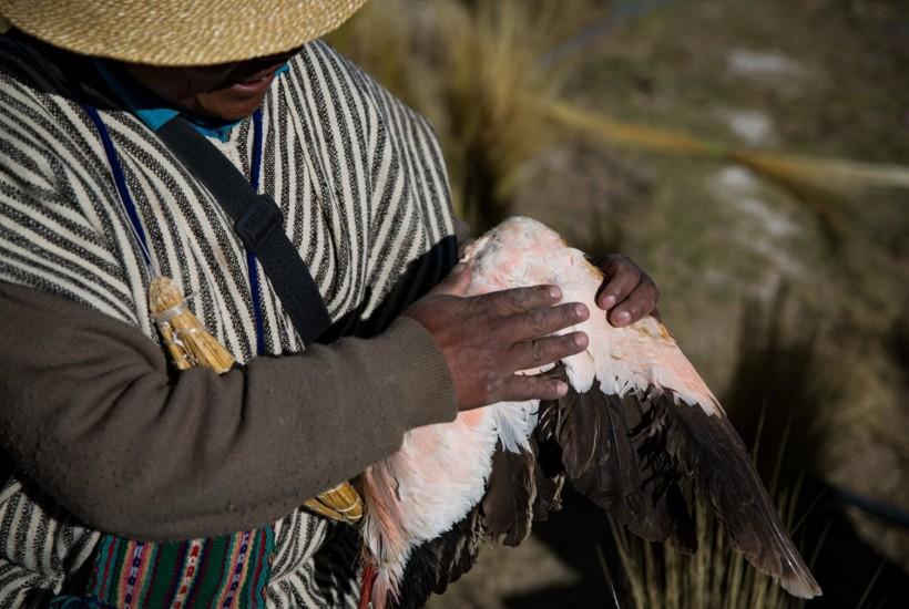 Emilio Huanaco con su última ala de flamenco, cuyas plumas se usan para bajar la fiebre Credit Josh Haner/The New York Times