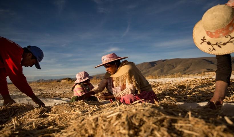 Personas de Llapallapani cosechando en los campos de quinua Credit Josh Haner/The New York Times