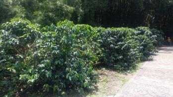 Conforme avanzábamos en la ruta, veíamos el cultivo del café en todos sus procesos desde su producción en viveros, cosecha, procesamiento y almacenamiento.