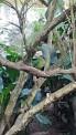Por supuesto que tenía que estar en el zoológico el emblemático BARRANQUERO con su corona en la cabeza, color azul intenso, avecilla que conocimos en una gráfica en la Buitrera y que la hemos podido ver en el Parque del Café y ahora en el zoológico de Cali.