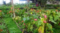 Mención aparte nos debe merecer la hermosa variedad de plantas y flores que amorosamente cuida Sandalio Cadena, de nuevo decimos en su bien llamada Finca La Porcelana.