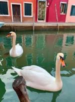 la presencia imponente de hermosos cisnes...